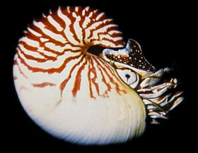 chambered-nautilus-swimming-se40