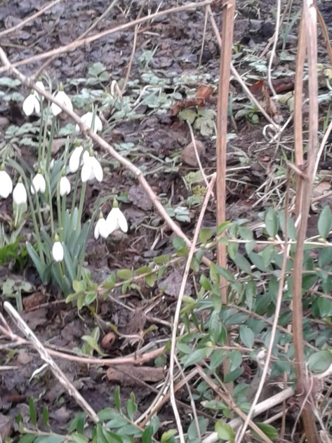20180126snow drops in Ireland